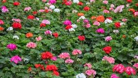 De roze en rode achtergrond van bloomimggeraniums royalty-vrije stock fotografie