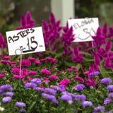 De roze en violette achtergrond van asterbloemen Stock Fotografie