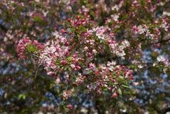 De roze en witte bloesem van Malusfloribunda stock foto