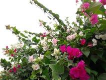 De roze en witte bougainvilleabloemen zijn mooi stock fotografie