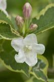 De roze en witte Wilde wingerd van de bloemenkamperfoelie Stock Foto