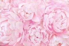 De roze feestelijke achtergrond van pioenenbloemen royalty-vrije stock afbeelding