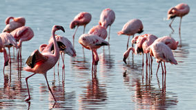 De roze flamingo spreidde zijn vleugels uit Royalty-vrije Stock Foto