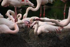 De roze flamingo zit op het nest Royalty-vrije Stock Foto's