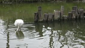 De roze flamingo zoekt voedsel in het water stock video