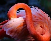 De roze foto van de Flamingo fijne kunst Royalty-vrije Stock Afbeelding