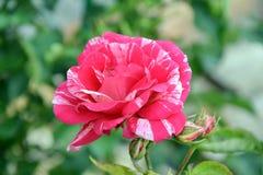 De roze Foto van Rozenrose home gardening planting stock royalty-vrije stock afbeeldingen
