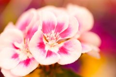 De roze Geraniums detailleren Creatieve Bloemenachtergrond royalty-vrije stock afbeelding