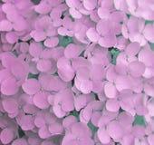 De roze gevoelige hydrangea hortensia bloeit close-up stock afbeeldingen
