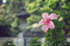 De roze Hibiscusbloesem China nam bloem, Malvaceae toe Royalty-vrije Stock Fotografie