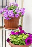 de roze Hybride Impatiens bloemen van Nieuw-Guinea en petuniabloemen stock foto