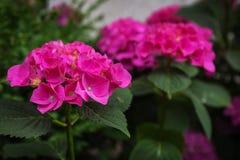 De roze hydrangea hortensiatuin groeit in de tuin in de zomer stock afbeeldingen
