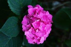 De roze hydrangea hortensiatuin groeit in de tuin in de zomer stock foto