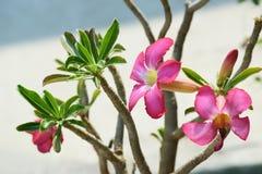 De roze Impalalelie of het Dessert namen/Adenium-multiflorum toe Stock Fotografie