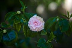 De roze Installatie van de Magnoliabloesem in Bloei in openlucht Stock Foto's