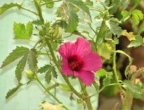 De roze installatie van de tulpenbloem met bladeren royalty-vrije stock foto