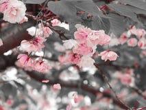 De roze kers die met grijs tot bloei komen doorbladert Royalty-vrije Stock Foto's