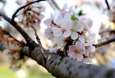 De roze kers komt seizoen voor aardachtergrond tot bloei Royalty-vrije Stock Afbeelding