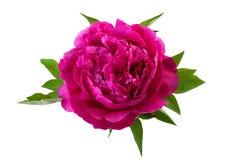 De roze kleur van de pioenbloem Stock Fotografie