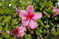 De Roze kleur van hibiscus rosa-sinensis Stock Foto