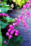 De roze klimplant van Honolulu, tuiniert houten weg Stock Afbeelding