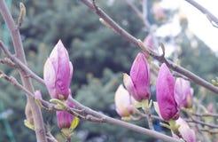 De roze knoppen van de de lentemagnolia op een tak van een boom De bloem van de bloesemmagnolia in aard Mooie de Lentebloei Stock Afbeelding