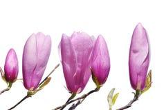De roze knoppen van de Magnolia van de Lelie in de lente Stock Foto
