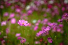 De roze kosmos bloeit gebied stock afbeeldingen