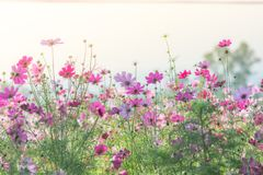 De roze Kosmos bloeit gebied, landschap van bloemen stock foto's