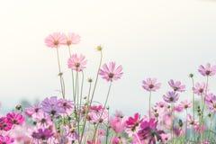 De roze Kosmos bloeit gebied, landschap van bloemen stock afbeeldingen