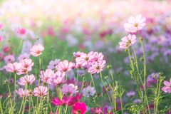 De roze Kosmos bloeit gebied, landschap van bloemen royalty-vrije stock afbeeldingen