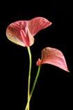 De roze Lelie van de Flamingo stock afbeelding