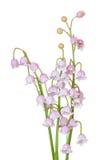 De roze Lelie van Mei Stock Afbeeldingen