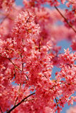 De roze Lente Stock Afbeeldingen