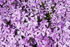 De roze lente Stock Fotografie