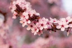De roze lente stock foto's