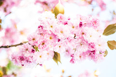 De roze lente stock afbeelding