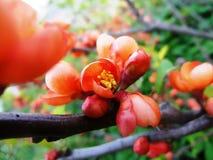 De roze lente Stock Foto