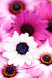De roze lente Royalty-vrije Stock Afbeelding