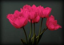 De roze lente bloeit tulpen Royalty-vrije Stock Fotografie