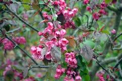 De roze de Lentebloemen barsten op een tuinboom los Stock Fotografie