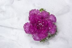De roze lilac Sierkool van de kleurenbrassica oleracea in de sneeuw, hoogste mening stock foto's