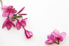 De roze lokale flora van bloemfrangipani van Azië stock afbeelding