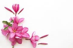 De roze lokale flora van bloemfrangipani van Azië royalty-vrije stock afbeeldingen