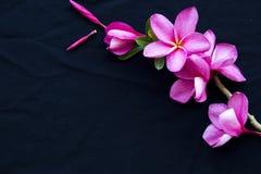 De roze lokale flora van bloemfrangipani van Azië royalty-vrije stock foto's