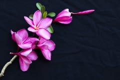 De roze lokale flora van bloemfrangipani van Azië royalty-vrije stock fotografie