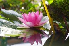 De roze Lotus-bloem is bloeiend op tuin Royalty-vrije Stock Fotografie