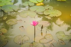 De roze Lotus-bloem wordt gecomplimenteerd door de rijke kleuren van de diepe blauwe waterspiegel in Bangkok in Thailand Stock Fotografie