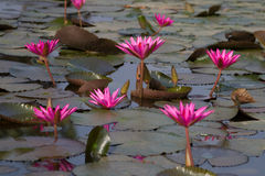 De roze lotusbloem bloeit in de vijver Stock Foto's