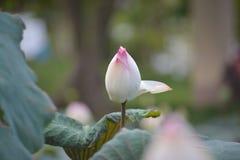 De roze lotusbloem in een kleine vijver Stock Foto